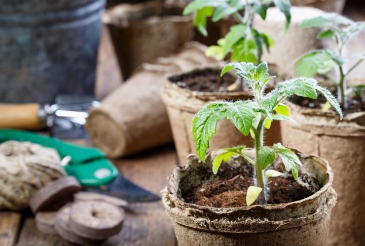 Bahçeler Şenlensin: 5 Adımda Saksıda Domates Nasıl Yetiştirilir?